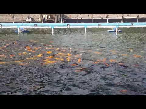 Kolam pancing telaga kencana malang(ikannya besar2 di atas 4 up)