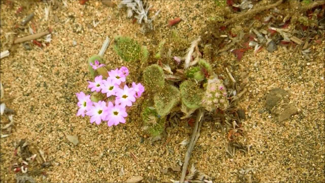 Pink Sand Verbena Abronia Umbellata San Diego California Youtube