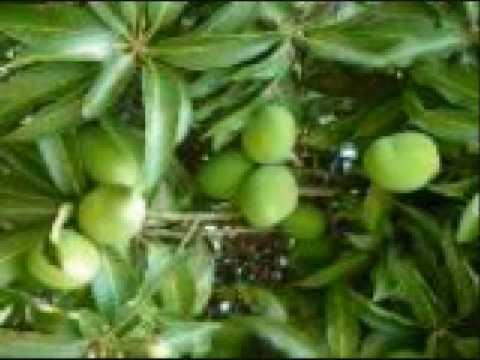 Chimtengo cha mango