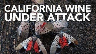 Bugs threaten California wine and avocados thumbnail