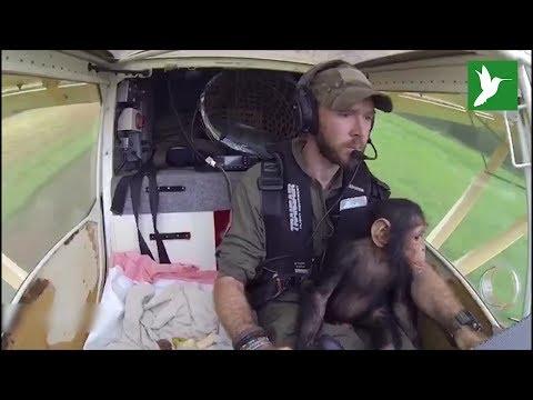 Este pequeño chimpancé tuvo mucha suerte de volar a un nuevo hogar