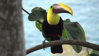 Тукан в Коста Рике