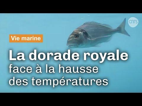 La daurade royale aux prises avec le changement climatique