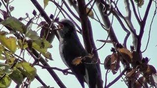 ヒヨドリの鳴き声~3種類の鳴き声~Brown-eared Bulbul