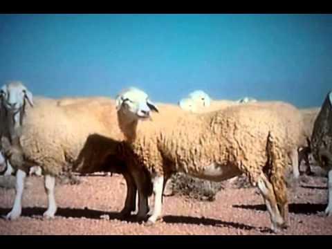 La meilleure race de mouton au monde,à Sidi khaled,Ouled jellal Algérie
