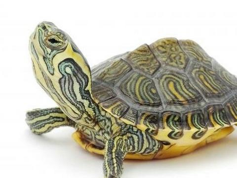 autistic turtle live stream