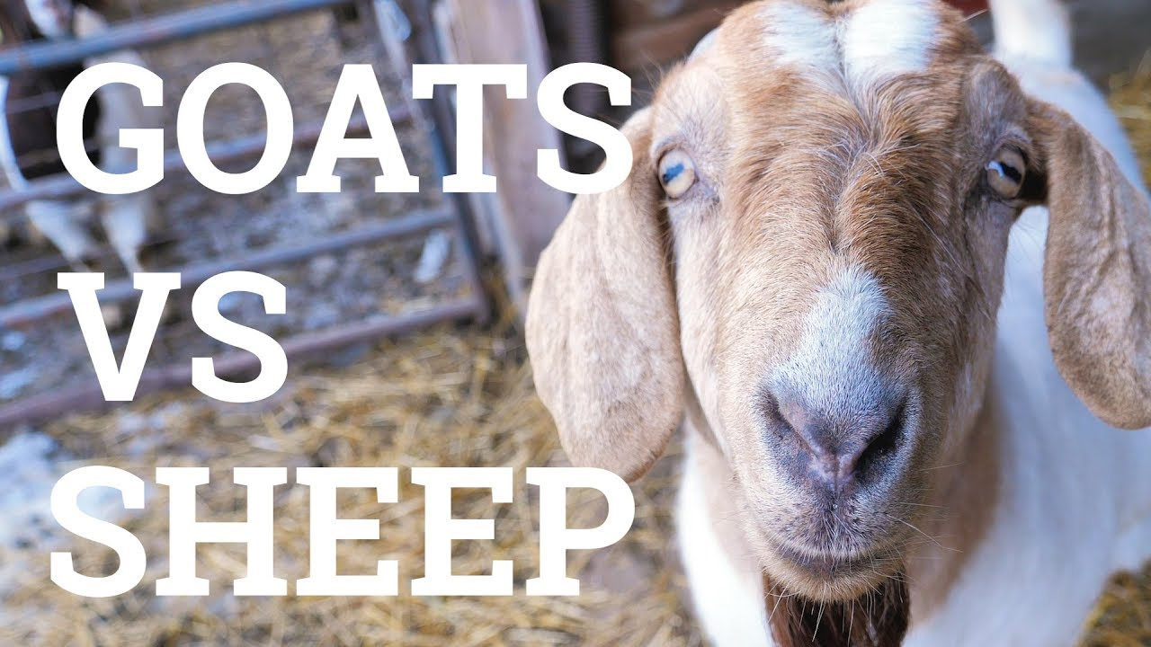 Goats VS Sheep - Which Is Better For Your Backyard? | QC Supply