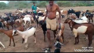 Traditional goat farming in Malvan, Sindhudurg