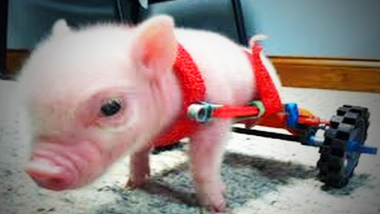 Ornamental Pigs, Ornamental Pigs Suppliers and