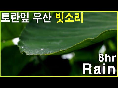 토란잎 위로 떨어지는 빗방울 - 우산 빗소리