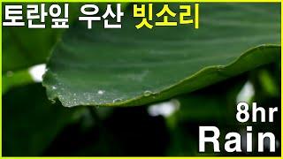 토란잎 위로 떨어지는 빗방울 - 우산 빗소리  8시간 깊은 수면