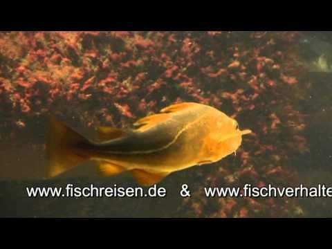 Gadus morhua (Atlantic cod)