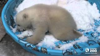 Repeat youtube video Toronto Zoo polar bear cub 3 months