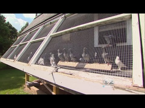 Oak Lawn Racing Pigeon Blown Off Course By Storm Nursed Back To Health By Indiana Family