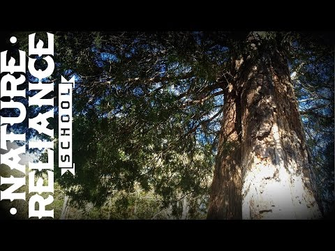 Tree Identification - Eastern Red Cedar