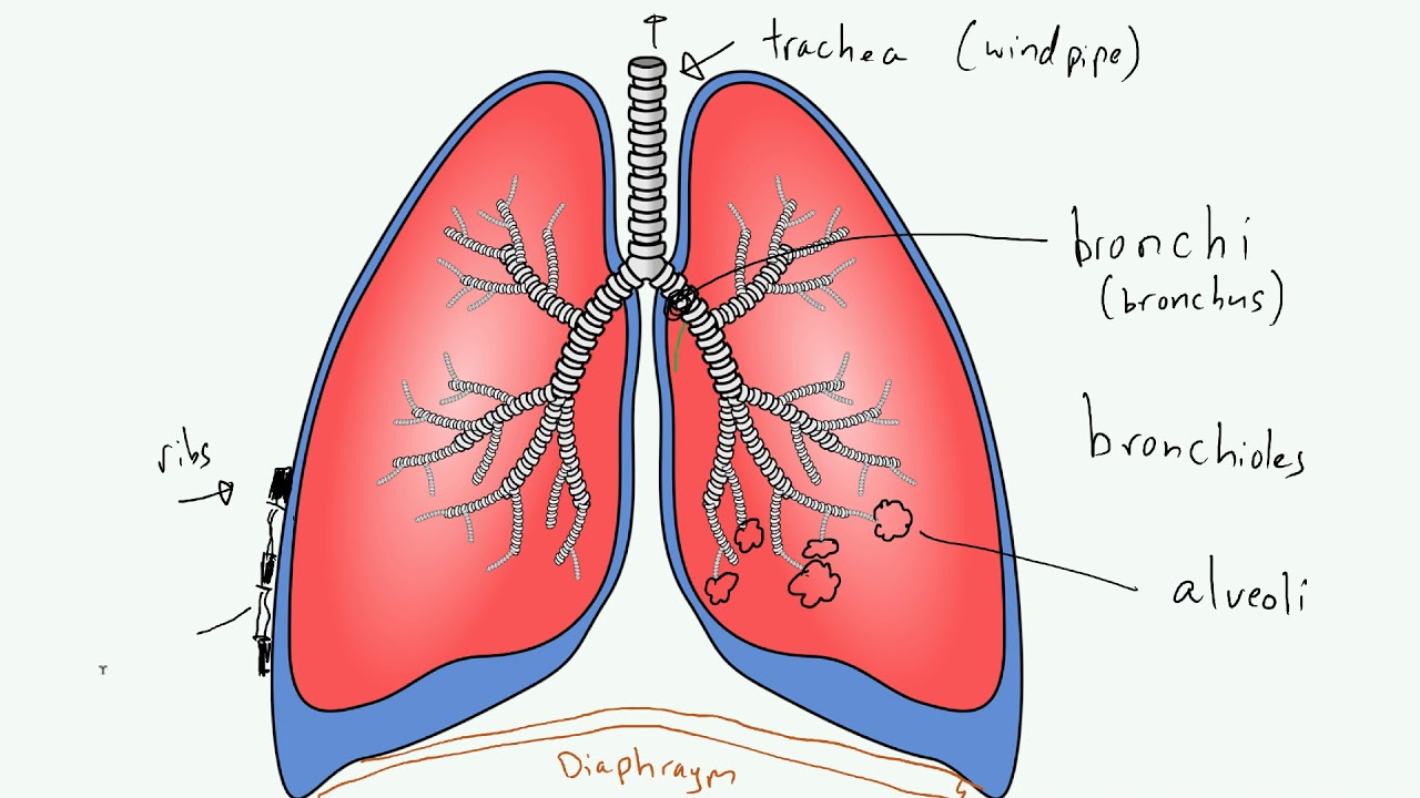 Lungs Diagram Simple   World of Reference