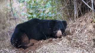 Indian Sloth Bear - Bandhavgarh National Park