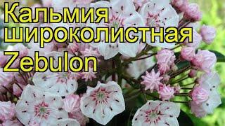 Кальмия широколистная Зебулон. Краткий обзор, описание характеристик kalmia latifolia Zebulon
