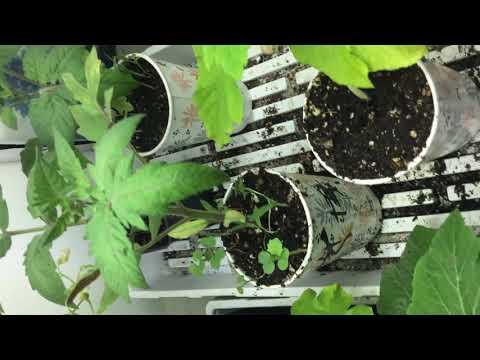 1. Introduction to BioLogix Canada, Pharaoh Genetix, genetic modified Hemp CBD, THC less than 0.03%