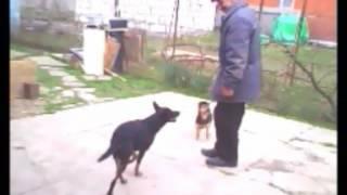 Мои собачки(Австралийский келпи- умная, универсальная порода собак., 2016-07-26T17:01:11.000Z)