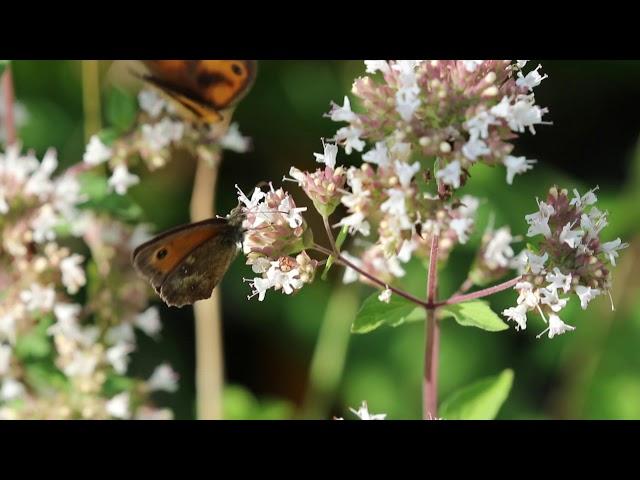 1 minuut natuur: Oranje zandoogjes