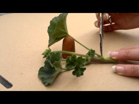 How to take pelargonium(geranium) cuttings