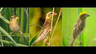 Download Suara Ocehan Burung MANYAR  Untuk Masteran Durasi Panjang