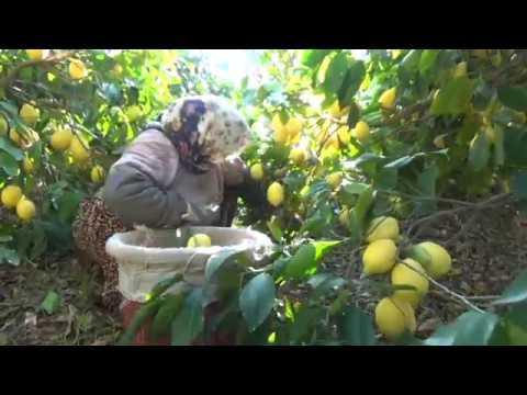 Limon üreticisi de ihracatçı da teşvik bekliyor