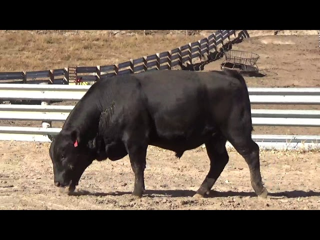 Connealy Angus Lot 77