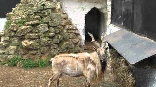 Зоопарк в Аскании  Нова Винторогий козел