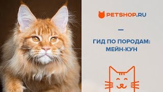 ГИД ПО ПОРОДАМ - МЕЙН-КУН