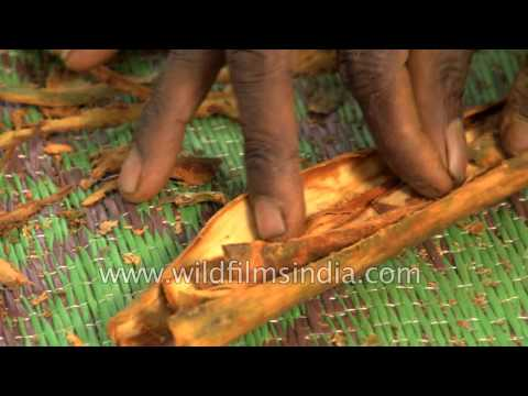 Cinnamon bring harvested and cured in a plantation in Sri Lanka