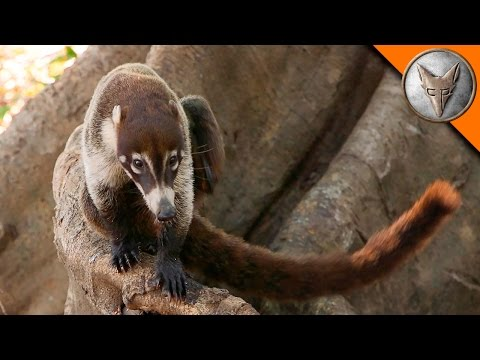 Thumbnail: Coatimundi Hangs Out with Coyote!