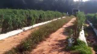 Boyd Tomato Farm.  Southern Greenville County, South Carolina.