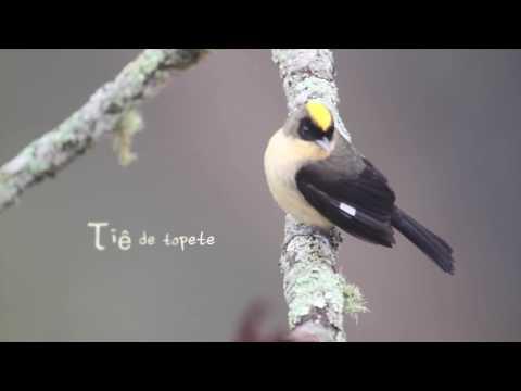 Tiê De Topete(Lanio Melanops) - Black-goggled Tanager