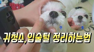 [셀프강아지미용]말티즈미용,강아지입술털 쉽고 간단하게 …
