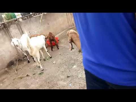 Rk goat farm Delhi 9811371385
