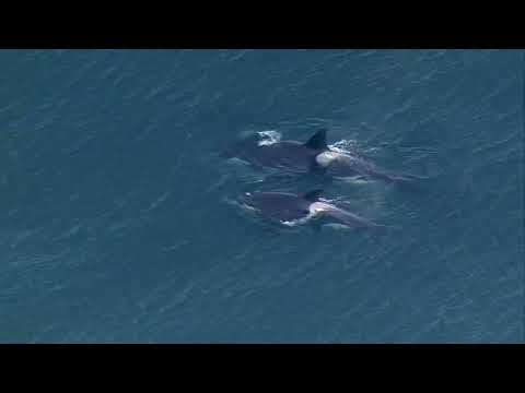 VIDEO: Orcas spotted between Seattle and Bainbridge