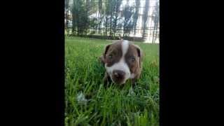 pitbull 1 a 6 meses