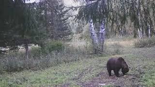 Sibirisk Brunbjørn