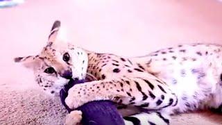 Are Servals GOOD Pets? Serval Biting.