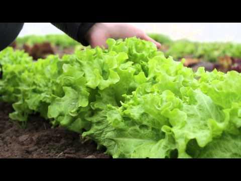 Выращивание салата из семян в теплице - KS 129 и KS 190