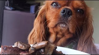 Cavalier King Charles Spaniel - Leave It Trick