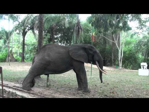 Gentil the elephant visits Bomassa HQ Nouabale-Ndoki Nat.Park, Congo