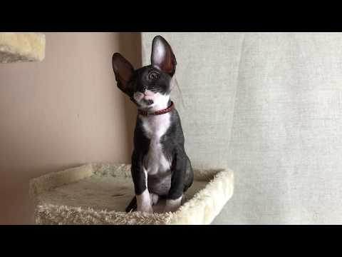 9 weeks old Cornish Rex kitten - Male- SURPRISE