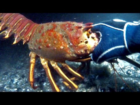 Diving with GIANT Lobster