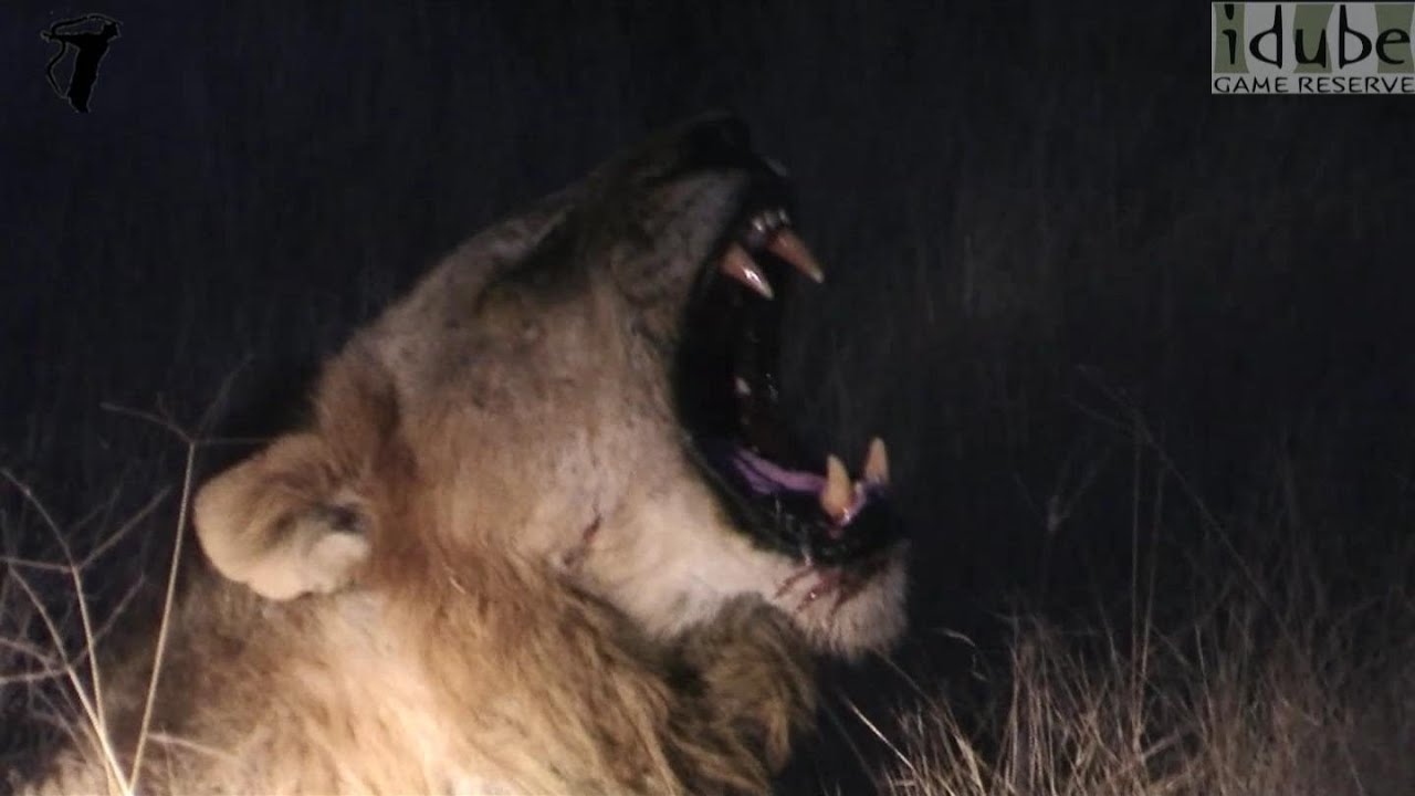 Great Lion Roar - Awesome Sound! - YouTube - photo#13
