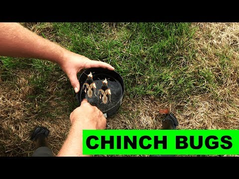 How To Detect And Kill Chinch Bugs In The Lawn