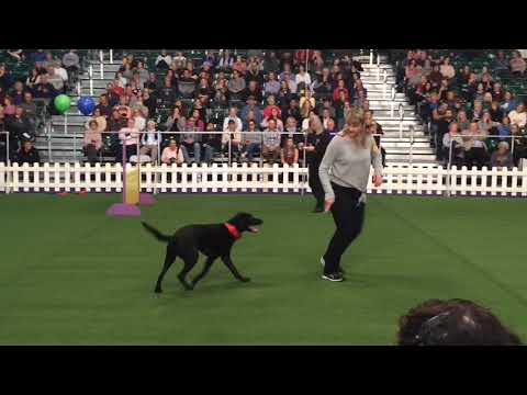 Westminster 2019: N.J. dog wins obedience for the fourth time