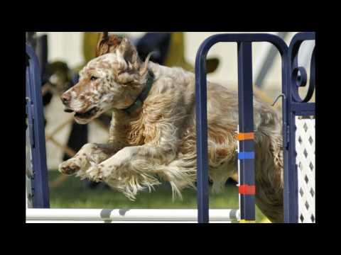 English Setter Agility Movie 2017
